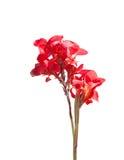 Ave del paraíso roja aislada en blanco Fotos de archivo