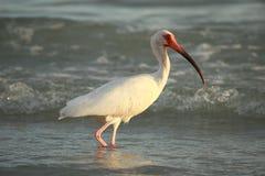 Ave marina blanca de Ibis en la playa Fotografía de archivo libre de regalías