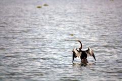 Ave marina del cormorán en el santuario de pájaro del lago Vembanad Imágenes de archivo libres de regalías