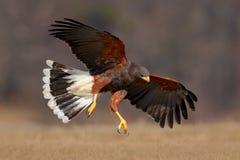 Ave rapaz de vuelo, Harris Hawk, unicinctus de Parabuteo, aterrizaje imagenes de archivo