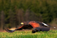 Ave rapaz de vuelo, Harris Hawk, unicinctus de Parabuteo, aterrizaje pájaro en el hábitat de la naturaleza Escena de la fauna de  Imagen de archivo
