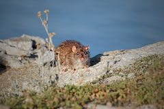 Ave river rat. Looking to the camera, north of Portugal royalty free stock photo