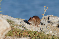 Ave river rat. Looking to the camera, north of Portugal stock photography