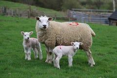 Avec 2 agneaux Images libres de droits