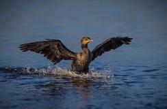 Terres de Cormorant dans l'eau images libres de droits