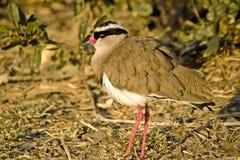 Avefría coronada (coronatus del Vanellus) Imagen de archivo