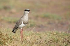 Avefría coronada (coronatus del Vanellus) en Tanzania Imagenes de archivo