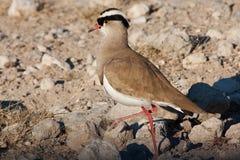 Avefría coronada - Vanellus Coronatus Imagenes de archivo