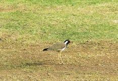 Avefría roja-wattled del pájaro de la familia del ave zancuda Imágenes de archivo libres de regalías