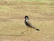 Avefría roja-wattled del pájaro de la familia del ave zancuda Imagen de archivo libre de regalías