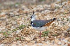 Avefría septentrional (vanellus del Vanellus) Fotografía de archivo