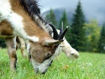 A aveia é pastada na montanha ao prado no verão Fotos de Stock Royalty Free