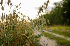 A aveia é semeada, verde, satÃva de Avéna Imagem de Stock