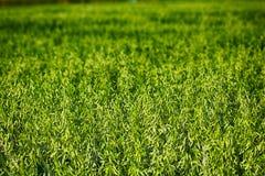 A aveia, maturidade do leite é parede Seja boa colheita imagem de stock