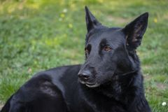 Avel för herde för tysk för päls för svart för vakthund arkivfoton