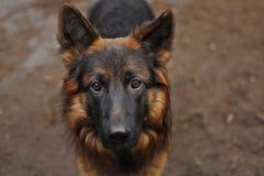 Avel för hund för tysk herde och hans blick royaltyfria foton