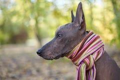 Avel för hund för Xoloitzcuintle hund mexicansk hårlös i ljus avriven halsduk på den höst-/nedgångbakgrunden arkivbild