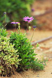 avelbuttercups brukar vast white fältblommaisrael för den purpura fjädern Royaltyfria Foton