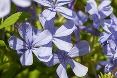 avelbuttercups brukar vast white fältblommaisrael för den purpura fjädern Royaltyfri Foto