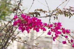avelbuttercups brukar vast white fältblommaisrael för den purpura fjädern Arkivbild