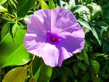 avelbuttercups brukar vast white fältblommaisrael för den purpura fjädern Slut som skjutas upp Royaltyfria Foton