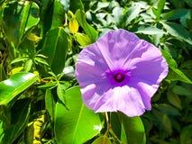 avelbuttercups brukar vast white fältblommaisrael för den purpura fjädern Slut som skjutas upp Royaltyfria Bilder