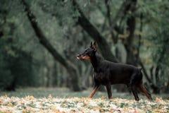 Aveldobermanen för den svarta hunden i rörelse går på grönt gräs royaltyfria foton