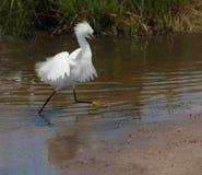 avelegret som ställer ut snöig plumage royaltyfri foto