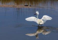 avelegret som ställer ut snöig plumage royaltyfria foton