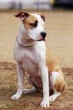 Avelhund amerikanska Staffordshire Terrier Royaltyfri Foto