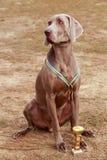 Avelhund Weimaraner royaltyfria foton