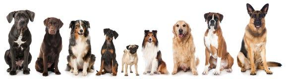Avelhundkapplöpning arkivbilder