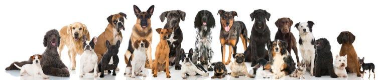 Avelhundkapplöpning royaltyfri bild
