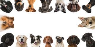Avelhundkapplöpning Royaltyfri Foto