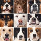 Avelhundkapplöpningcollage arkivbild