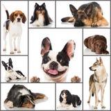 Avelhundkapplöpningcollage arkivfoto