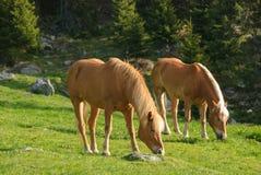 Avelignese-Pferd Lizenzfreies Stockfoto