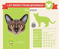 Avelinfographics för Burmese katt Arkivbild
