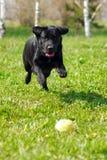 Avellabrador för svart hund som spelar med en basebollarena Royaltyfri Bild