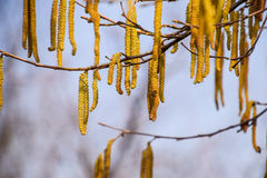 Avellana del avellano floreciente Amentos pardos en ramas Imagen de archivo