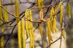 Avellana del avellano floreciente Amentos pardos en ramas Fotos de archivo