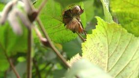 Avellanas en sus racimos y hojas del avellano común almacen de video