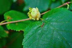 Avellanas verdes en la falta de definición de la hoja del verde del otoño fotografía de archivo libre de regalías
