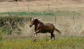 Avellinese häst med blont galoppera för man Royaltyfri Bild