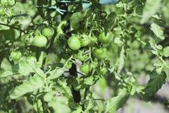 Avelplommontomater som växer på vinranka i trädgård Arkivfoto