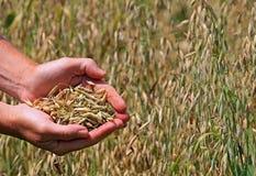 Avena del grano Immagini Stock Libere da Diritti