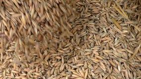 Avena del grano en las manos de granjeros metrajes