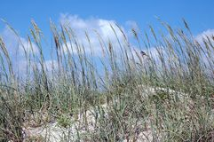 Avena del mar Imagen de archivo libre de regalías