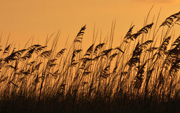 Avena del mar en la puesta del sol imágenes de archivo libres de regalías