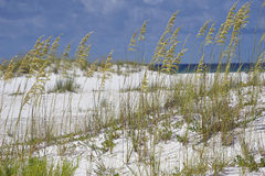 Avena del mare alla spiaggia del blu di turchese in Florida Immagine Stock Libera da Diritti